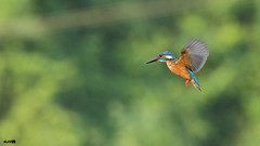 Common Kingfisher (harshithjv) Tags: bird birding eurasian common kingfisher commonkingfisher alcedo atthis taprobana coraciiformes alcedinidae alcedininae aves avian canon 80d tamron bigron g2 flight hovering bif birdinflight 400mm