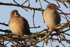 House Sparrows (Terrance Carr) Tags: dncb 201843 reifel terry carr terrycarr 20181023 2018 october