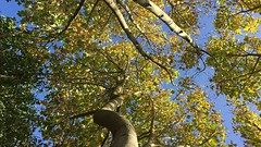 Tulip Tree - canopy - October 2018 (Exeter Trees UK) Tags: tulip tree canopy october 2018