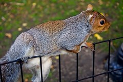 Squirrel flash - Madison Square Park, New York City (Andreas Komodromos) Tags: animal city closeup curious cute detail gray mammal nature newyork newyorkcity nyandreas outdoor park rodent squirrel urban macro fence grass leaves écureuil green