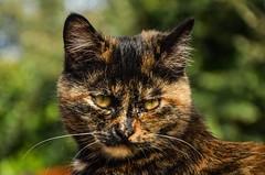 "Nerina (salernolorenza) Tags: ""nikonflickraward"" animale domestico gatto"