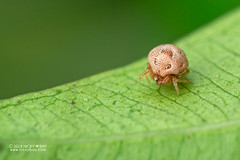Sesame seed comb-footed spider (Phoroncidia sp.) - DSC_5109 (nickybay) Tags: singapore admiraltypark macro phoroncidia theridiidae sesame seed combfooted spider