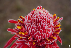 Red Flower (Michell Fotografia) Tags: vermelho flower riodejaneiro natureza flor jardim nature red yellow macro bokeh flowes brazil brasil flores flowers rood