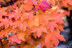 Maple leaves (Squirrel Girl cbk) Tags: dogcanyon gumo guadalupemountainsnationalpark november texas autumnleaves maple