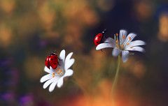 Stellaria (ElenAndreeva) Tags: flower flora flowers nature macro ladybug bug insect magic garden amazing fire yellow red colors color light sun summer spring focus forest bokeh canon sweet dream beauty best new stellaria like likes andreeva two autumn