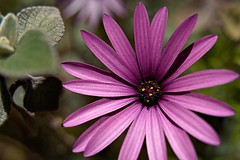 The Humble Daisy (mattyv.au) Tags: flora macro flowers rawtherapee nature pink purple sony tamron closeup bokeh