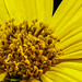 Woodland Sunflower XXV