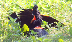 Red-winged Blackbird Death Match 14 (Kaptured by Kala) Tags: agelaiusphoeniceus redwingedblackbird blackbird maleredwingedblackbird whiterocklake dallastexas sunsetbay loud noisy closeup battle fighting territorial aggressive