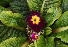 DSC_1842 Primrose (PeaTJay) Tags: nikond750 sigma reading lowerearley berkshire macro micro closeups gardens outdoors nature flora fauna plants flowers primrose