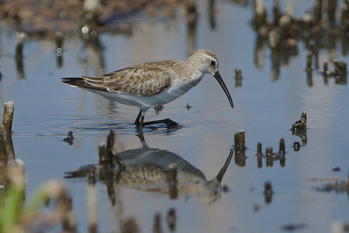 "Curlew sandpiper, Calidris ferruginea, at Marievale Nature Reserve, Gauteng, South Africa • <a style=""font-size:0.8em;"" href=""http://www.flickr.com/photos/93242958@N00/30077320307/"" target=""_blank"">View on Flickr</a>"