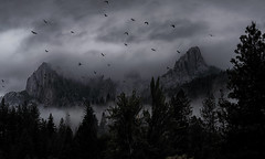 massacred here, on sacred lands, spirits soar and cry, forever lost... (Alvin Harp) Tags: castlecrags i5 northerncalifornia california blackbirds inflight ravens crows sonyilce9 fe70200mmf28 cloudsstormssunsetssunrises natureswonder mountainpeaks forest fog october 2018 alvinharp