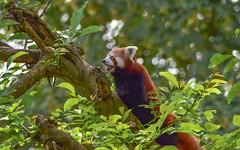 Panda Roux - 5980 (ΨᗩSᗰIᘉᗴ HᗴᘉS +23 000 000 thx) Tags: panda pandaroux animal nature tree pairidaiza hensyasmine namur belgium europa aaa namuroise look photo friends be wow yasminehens interest intersting eu fr greatphotographers lanamuroise tamron tamron150600
