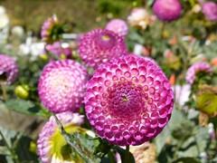 dahlias 6/8 (Jef Poskanzer) Tags: flower flowers dahlia dahlias goldengatepark dahliagarden geotagged geo:lat=3777250 geo:lon=12245931 t