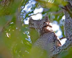 Owlets - eastern screech owl (justkim1106) Tags: owl bird owlet easternscreechowl texasbird texasnature texaswildlife wildlife