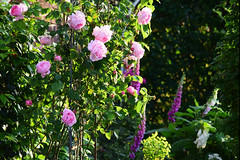 June in the Garden (Mark Wordy) Tags: mygarden summer flowers roses rosa constancespry