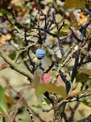 Schlehe (Thomas230660) Tags: sonne herbst flora sony arnstadt wanderung landschaft landscape bäume thüringen trees blätter
