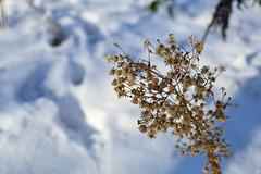 35947555 (aniaerm) Tags: snow ice frost