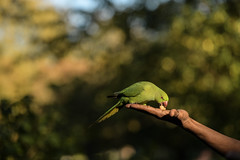 Bright bird against bright leaves (PChamaeleoMH) Tags: birds centrallondon feeding hands interaction london parakeet people ringneckedparakeets stjamesspark
