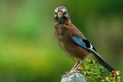 DSC00134 - Jay (steve R J) Tags: jay garden birds british