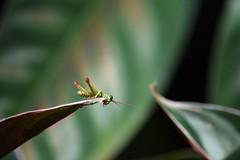 Saltamontes en El Salado (camiloadolfozabala) Tags: nikond3400 saltamontes grasshopper envigado