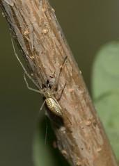 Tetragnatha species spiderling (explored) (Anne Richardson) Tags: tetragnatha spider macro macrophotography wildlife nature arachnid southamptonoldcemetery hampshire longjawedorbweaver orbweaver