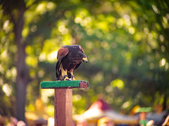 Falcon (Greg Jarman) Tags: omd em1 micro four thirds michigan rennaissance festival ren fest 75mm 13 c mount navitron cctv lens adapted bird nature animal falcon