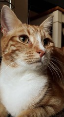 Angus (merseymouse) Tags: gingercats cats felines animalcloseups pets