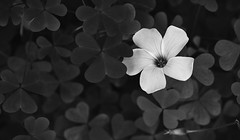 FLOR EN TREBOLES (jpi-linfatiko) Tags: flor flower treboles trebols bn bw bnw bwn blackandwhite blancoynegro blanconegro blackwhite nikon d5200 nikkor40mm28micro macro vegetacion vegetation monocromo monochrome naturaleza nature natural