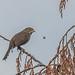 foxsparrow-8908