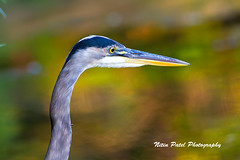 IMG_9796 (nitinpatel2) Tags: bird nature nitinpatel
