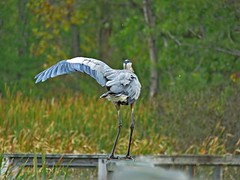 """""""They Went That Way!!"""" ... Great Blue Heron (Photos by the Swamper) Tags: wadingbirds heron greatblueheron"""