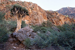 The Quiver Tree _5722-2 (hkoons) Tags: namibdesert namibkaukluft southernafrica waterklooftrail ababis africa african namib namibia naukluft quiver soltaire tree arbor bloom blossom branch branches bud buds canopy canyon color fauna flora flower grasses green growth landscape leaf leaves limb limbs outdoors plants rocks roots shrubs soil stem stone sun sunshine trees trunk vegetation