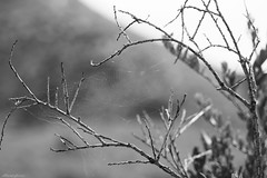 The Web (lagunadani) Tags: spiderweb web telaraña blancoynegro elcampello