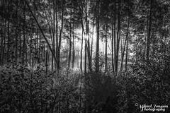 looking in b/w (Frukostklubben) Tags: tamron nikon d810 sp 70200mm f28 di vc usd träd dimma sol black white bw sun tree