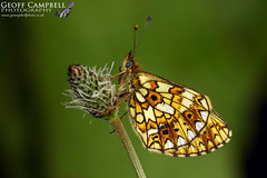 Small Pearl-bordered Fritillary (Boloria selene) (gcampbellphoto) Tags: boloria selene small pearlbordered fritillary butterfly insect macro nature wildlife cairngorms aviemore scotland gcampbellphoto animal outdoor depth field bright