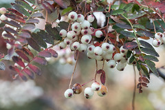 Sorbus aff.filipes (Sara@Shotley) Tags: sorbus tree macro berries fruit autumn nature fall species canon ness botanical garden wirral cheshire