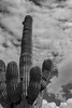 Scottsdale, Arizona 10-11-18 (benakersphoto) Tags: scottsdale scottsdaleaz az arizona cactus saguaro plant sky cloud bw blackandwhite clouds cloudy
