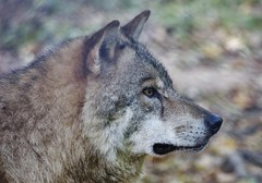 Wolf (Hugo von Schreck) Tags: hugovonschreck wolf animal ngc canoneos5dsr greatphotographers tamron28300mmf3563divcpzda010