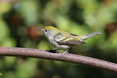 Chestnut-Sided Warbler (IMG_8757) (jasontanner) Tags: ardenwoodfarm bird songbird warbler chestnutsidedwarbler
