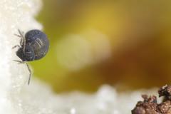 Sminthurinus aureus forma atratus (marie1179) Tags: collembola colémbola hoppstjärt springtail springstaart springschwänze symphypleona katiannidae sminthurinusaureus canoneos80d kenkoextensiontubes mpe65mm macroringlitemr14ex falconeyesledlight macro