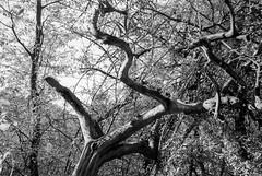 Crooked (mischlicht.net) Tags: ilfordpanf leicam6classic xtol11 zeisscbiogon35mm28 cbiogont3528 mischlicht mischlichtnet filmphotography analogue analogefotografie blackandwhite schwarzweis monochrome landschaft landscape tree trees baum bäume