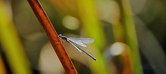 dragonfly (Stefan Wirtz) Tags: dragonfly libelle teich gras pond weiher insekt insect