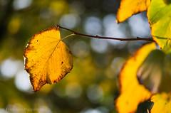 Fall dress (ciccioetneo) Tags: rimini emiliaromagna leaf fall autumn magicalseason stagionemagica foglia ciccioetneo rimiautumn