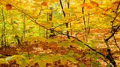 Among the beeches (jtr27) Tags: dscf1777xl jtr27 fuji fujifilm xe2s xtrans rokinon samyang 16mm f2 f20 wideangle autumn foliage albany township maine newengland manualfocus beech trees grove yellow landscape