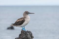 Blue-footed Booby - Looking out to sea D85_1788.jpg (Mobile Lynn) Tags: booby birds wild bluefootedbooby nature bird fauna sula wildlife sulanebouxii postofficebayfloreanaisland galapagosislands ecuador ec coth specanimal ngc coth5 npc