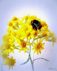 ___ quotidiano impegno (erman_53fotoclik) Tags: fiore flora insetto ape bombo particolare macro fiori petali gialli