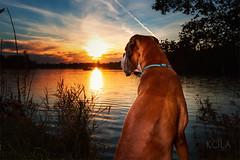 44/52 sunset watching (Kerstin Mielke) Tags: 52weeksfordogs kurt boxerdog lake sundown sunset