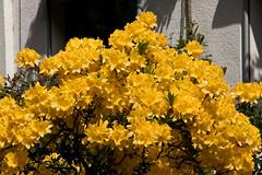 IMG_2201 (Lightcatcher66) Tags: rhododendron makros lightcatcher66