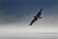 Osprey (nomoredarkroom) Tags: osprey pennsylvania birdshare light highlightedfeathers