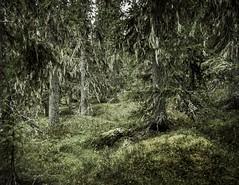 Mysterious old forest (A blond-Tess) Tags: naturephotography nationalpark skog urskog firtrees woodland forest forestfloor mystic mysteriousforest fairytale fairy canonphotography outdoorphotography fulufjallet usneafilipendula beardlichen dalarna skägglav primaryforest hiking hike hikinglife 7d sigma1750mmf28 enchanting